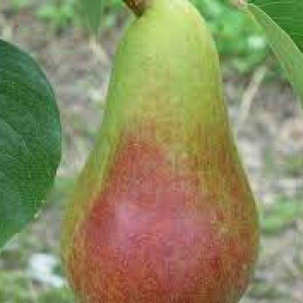 turandot pear